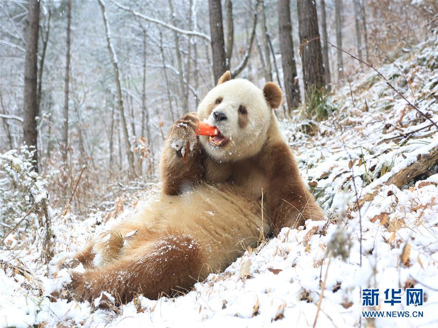 Panda gigante castanho Qi Zai desfruta do inverno nas Montanhas Qinling